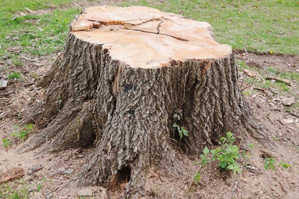 termites in tree stump