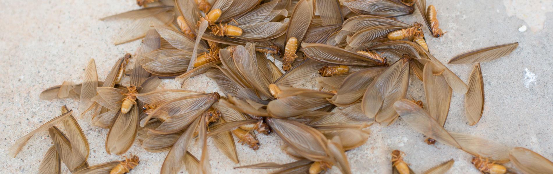 flying white ants