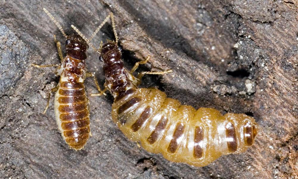 termite nest in garden