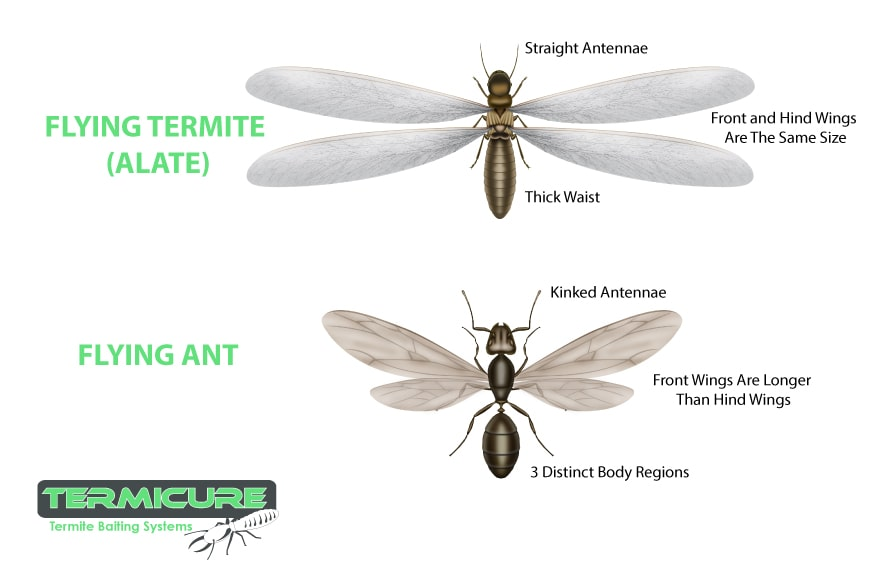 What do Flying Termites Look Like